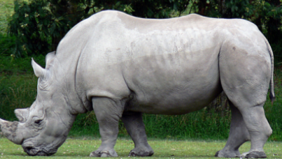 Can White Rhinos Survive Extinction?