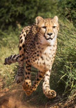 Cheetahs: The Fastest Animals on the Planet